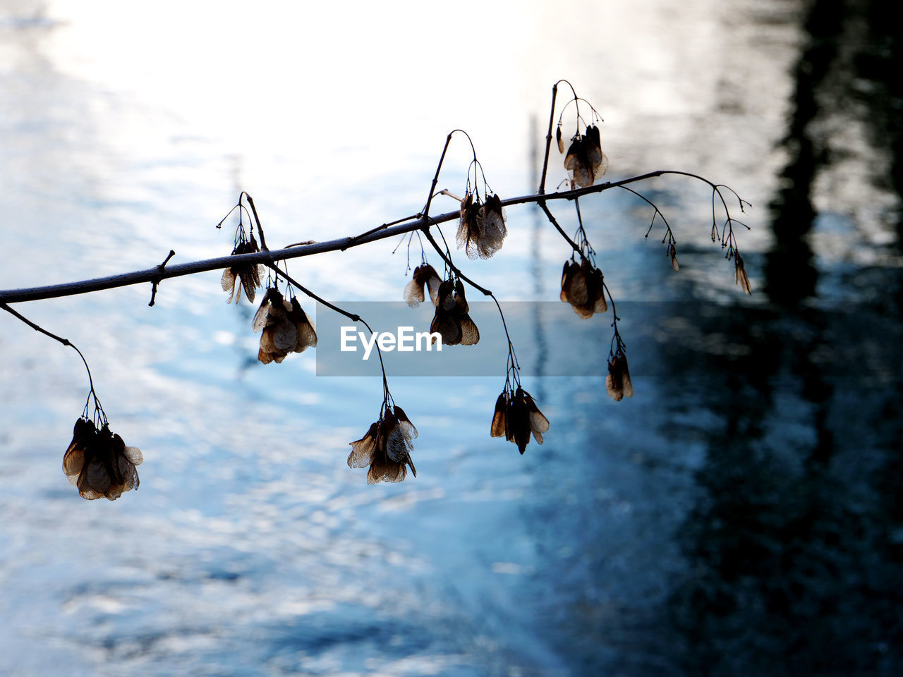 nature, beauty in nature, water, no people, day, outdoors, flower, fragility, hanging, dried plant, close-up