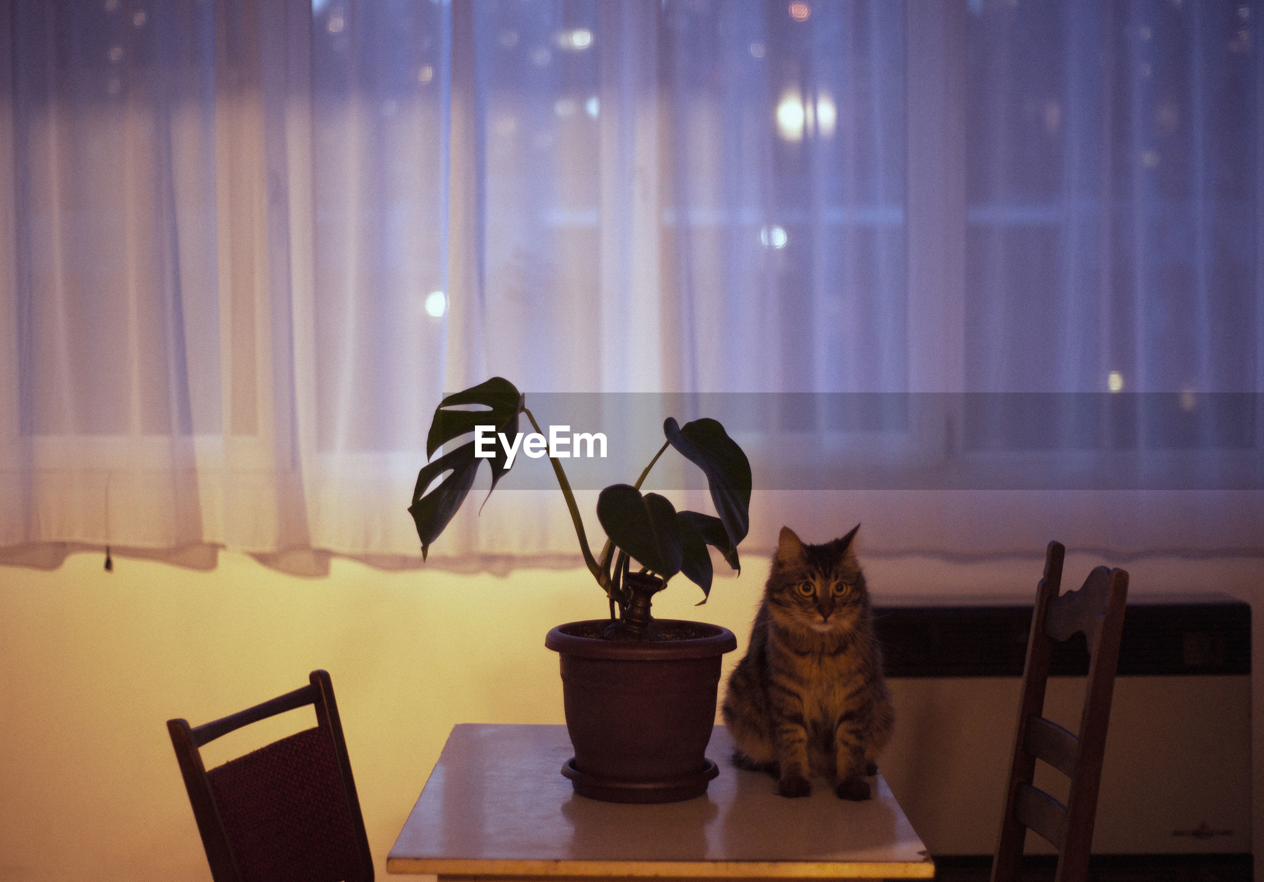 CAT SITTING ON TABLE AT ILLUMINATED HOME