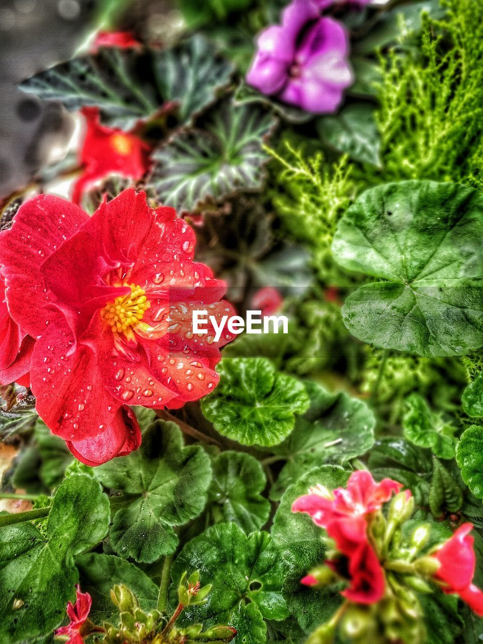 flower, growth, red, beauty in nature, plant, fragility, nature, petal, green color, flower head, no people, freshness, blooming, leaf, day, outdoors, close-up, water