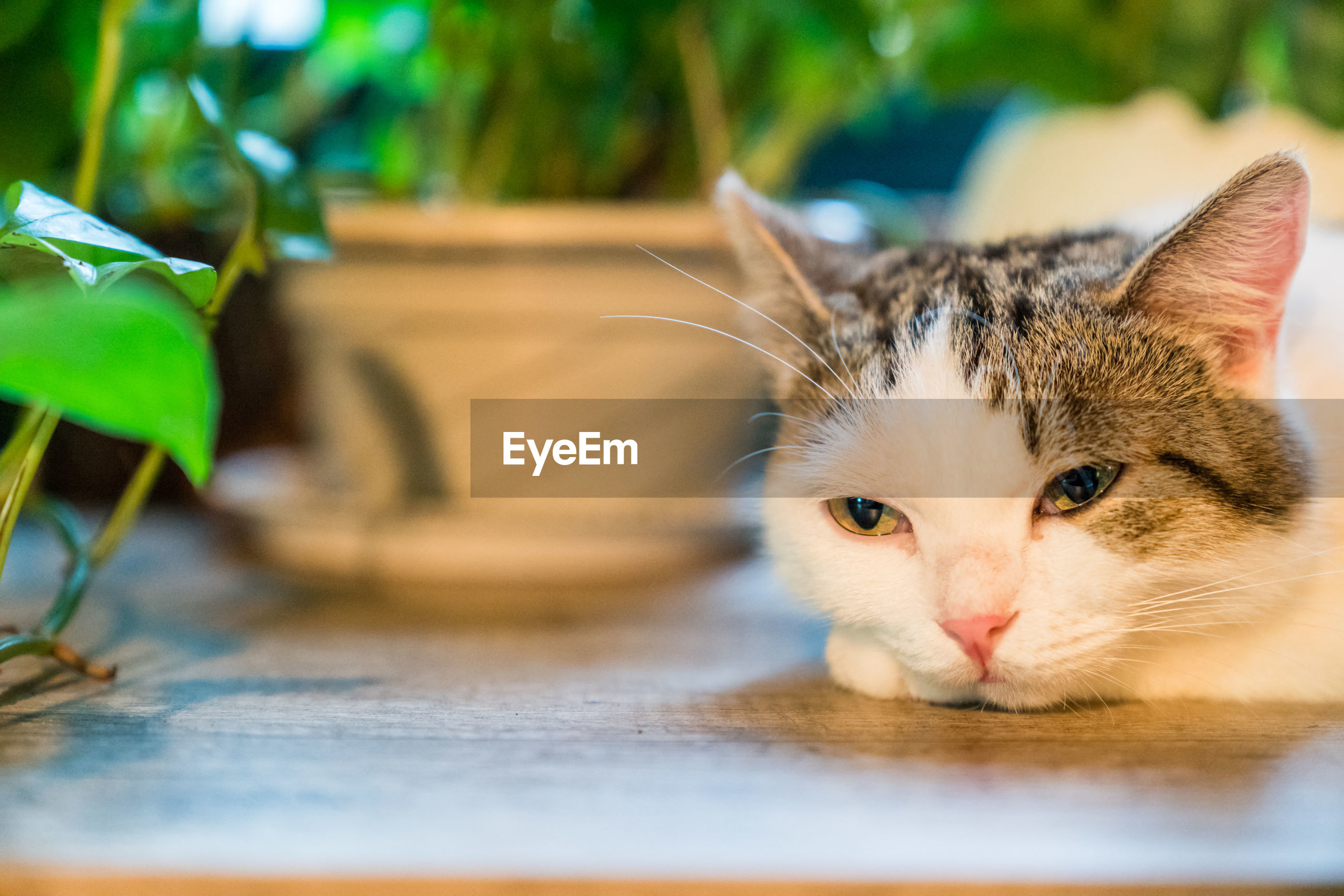 animal themes, cat, animal, feline, domestic, domestic cat, mammal, pets, one animal, domestic animals, vertebrate, no people, selective focus, looking at camera, portrait, whisker, animal body part, close-up, day, relaxation, animal head, animal eye