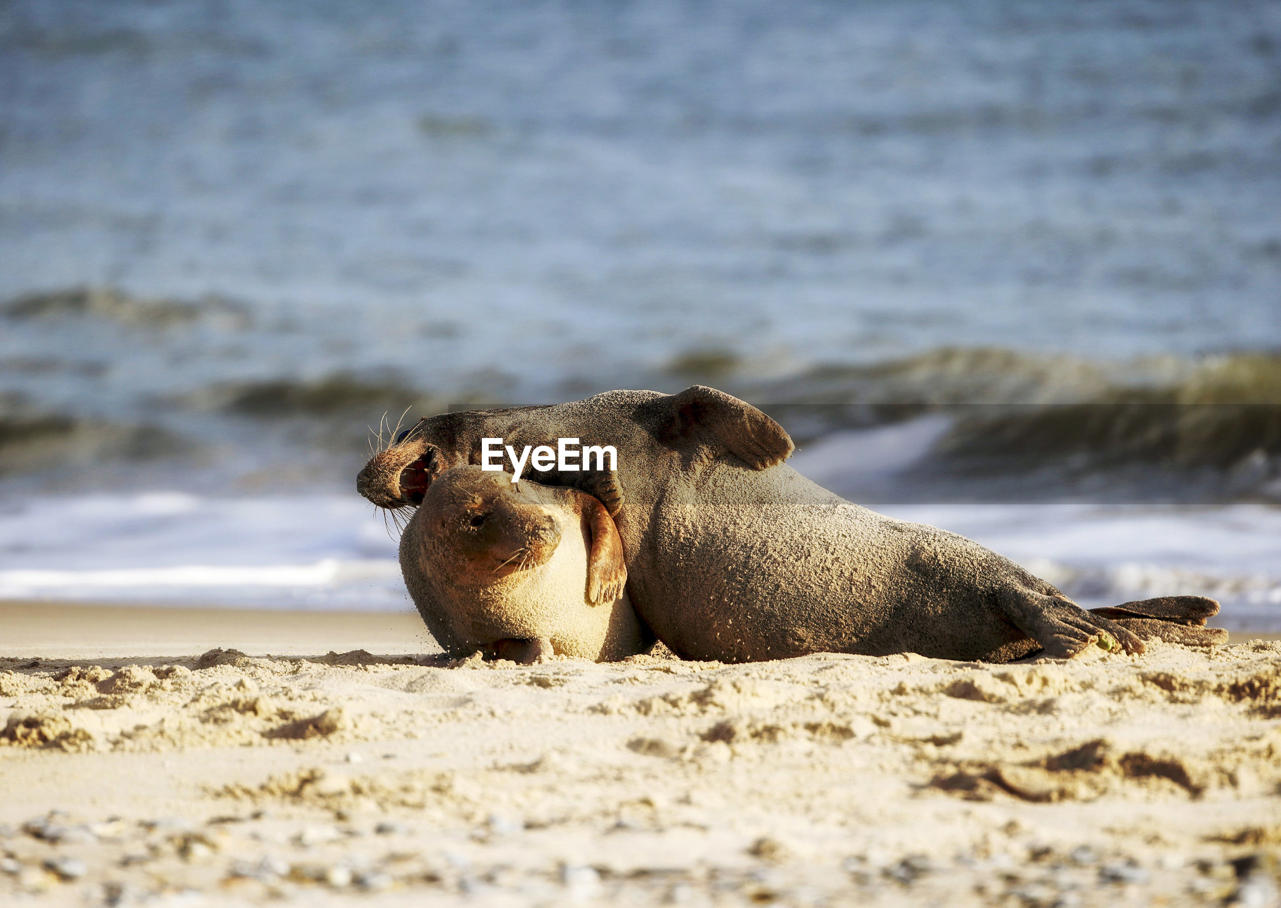 Side view of seal on sand