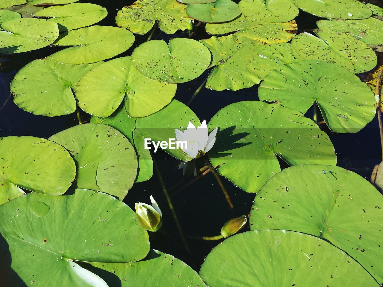 leaf, water lily, pond, growth, beauty in nature, nature, lily pad, floating on water, flower, green color, freshness, plant, water, lotus water lily, high angle view, fragility, petal, lotus, day, outdoors, no people, flower head, close-up