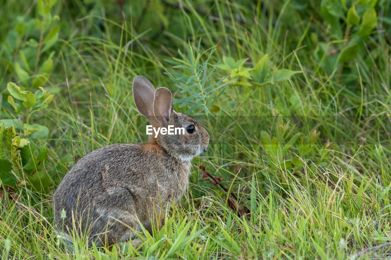 animal themes, animal, animal wildlife, grass, mammal, one animal, plant, animals in the wild, land, green color, field, vertebrate, nature, no people, rodent, focus on foreground, rabbit - animal, day, close-up, side view, outdoors, herbivorous