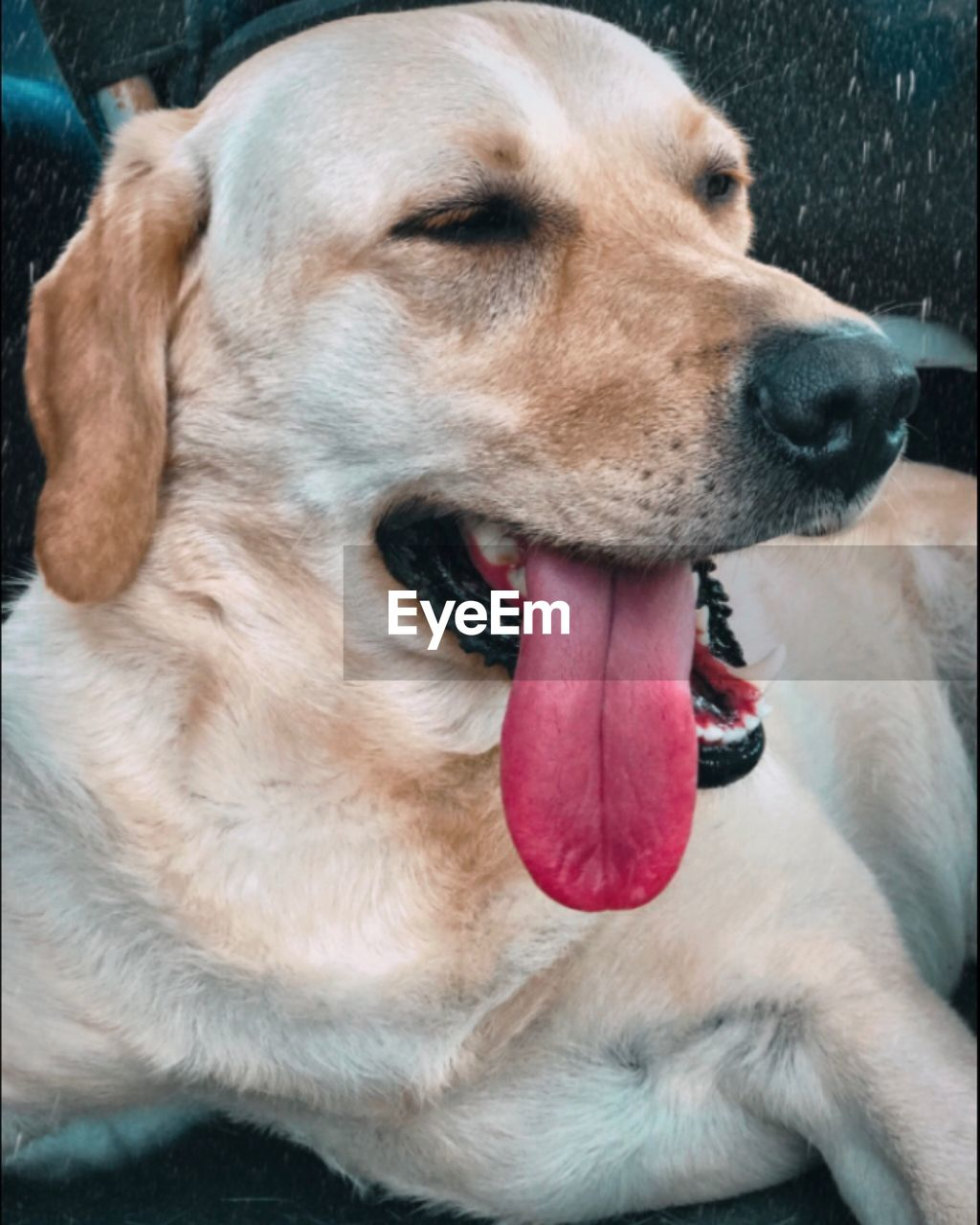 one animal, domestic, mammal, dog, canine, animal themes, pets, animal, domestic animals, close-up, vertebrate, mouth, mouth open, animal body part, facial expression, animal head, no people, animal tongue, focus on foreground, sticking out tongue, animal mouth, animal nose, whisker