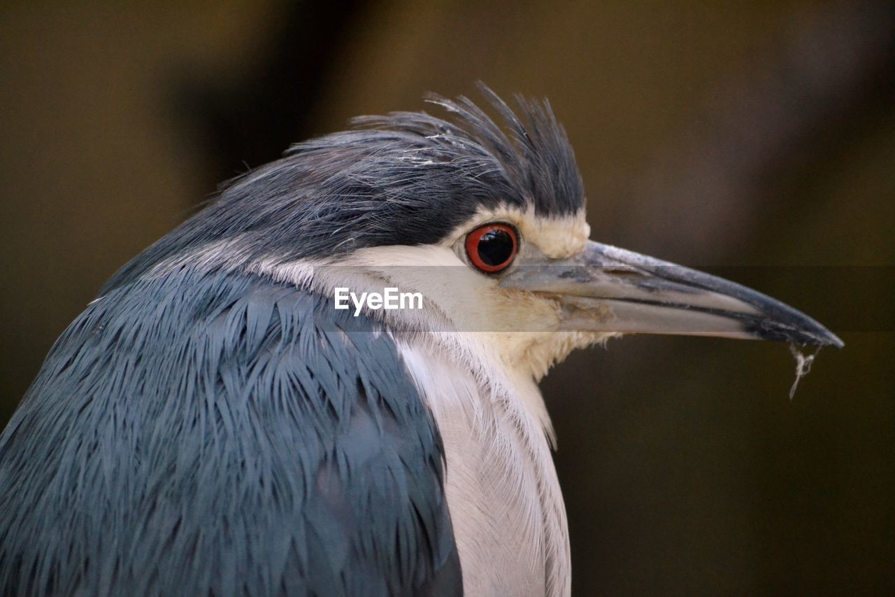 Close-Up Of Black Crowned Night Heron