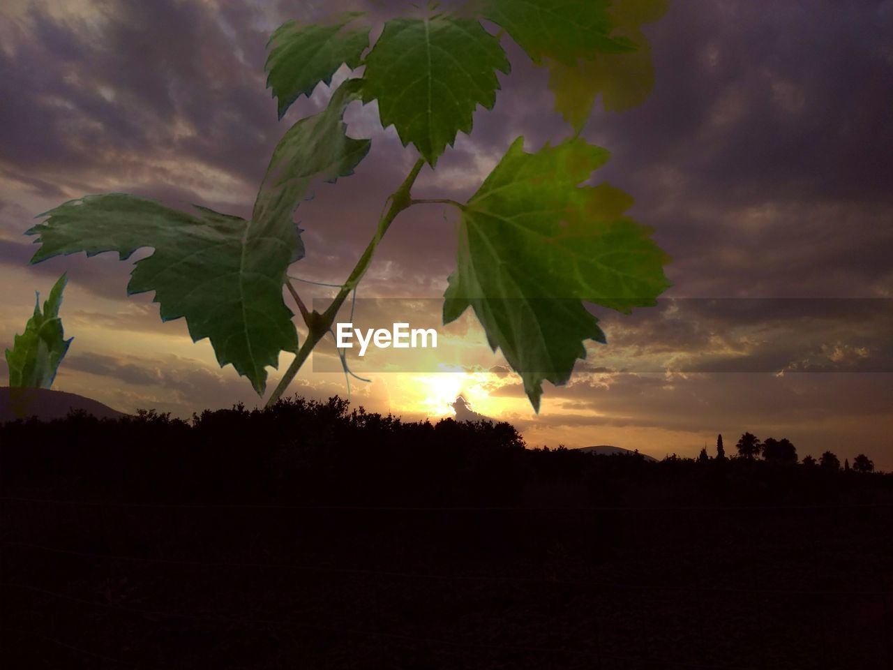 sky, cloud - sky, sunset, beauty in nature, plant, silhouette, nature, tranquility, growth, tranquil scene, scenics - nature, no people, tree, field, land, leaf, plant part, environment, landscape, outdoors