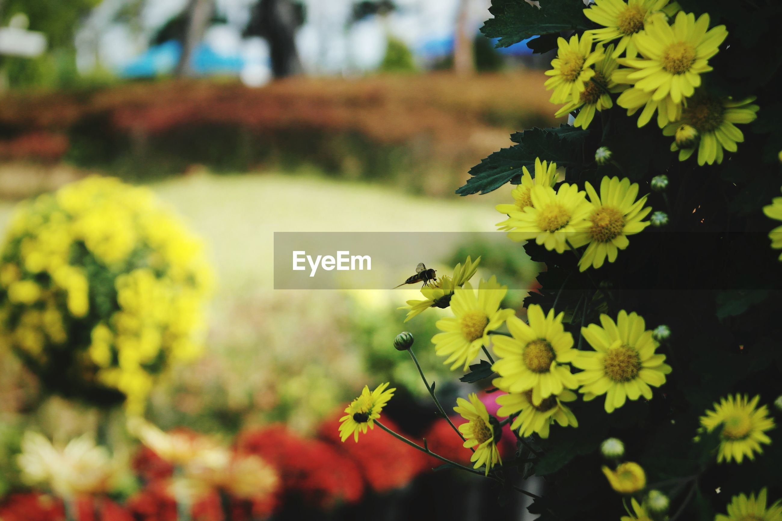 flower, yellow, petal, fragility, freshness, focus on foreground, growth, beauty in nature, flower head, close-up, plant, blooming, nature, selective focus, in bloom, stem, outdoors, day, park - man made space, no people