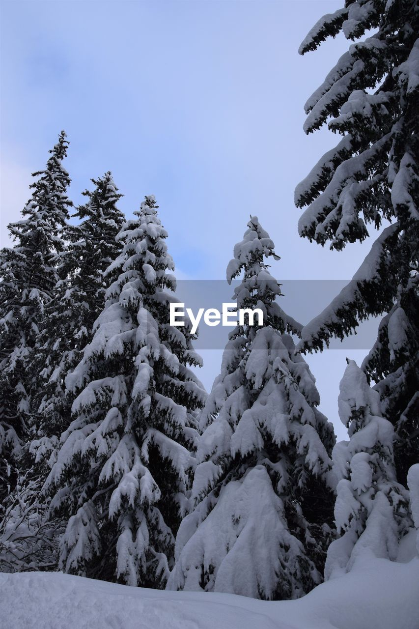 Low Angle View Of Snow Covered Pine Trees Against Sky