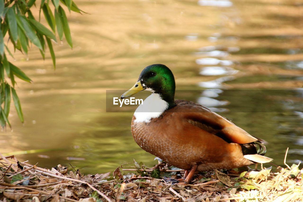 Duck Standing At Lakeshore
