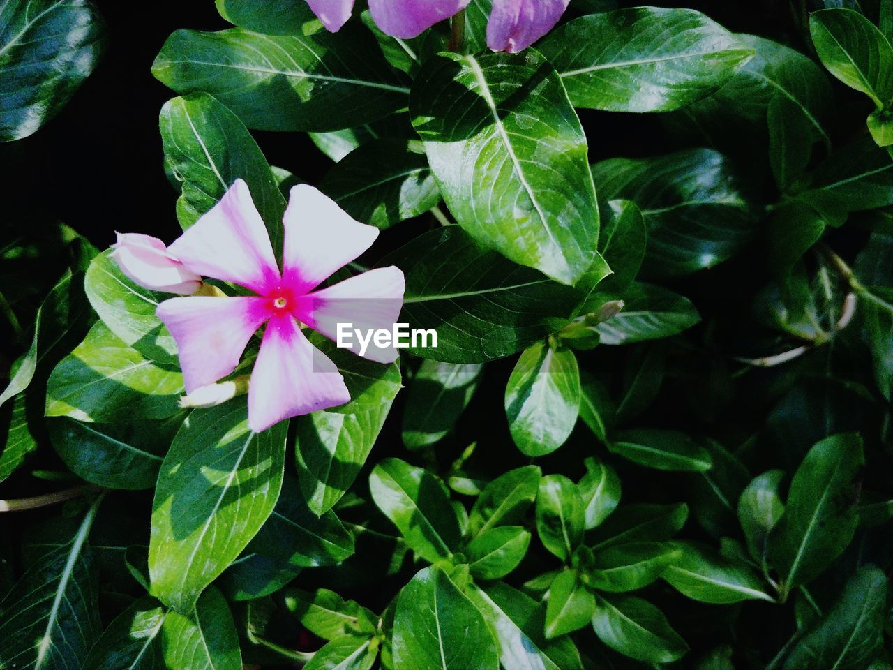 flower, petal, fragility, leaf, beauty in nature, flower head, growth, green color, freshness, plant, nature, no people, blooming, high angle view, day, periwinkle, outdoors, close-up