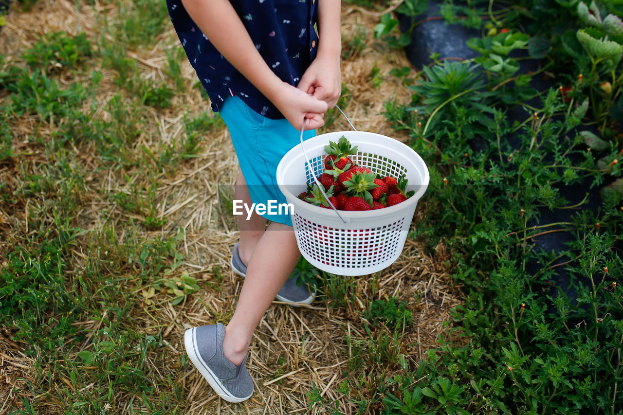 Low section of boy holding strawberries in bucket while standing at farm