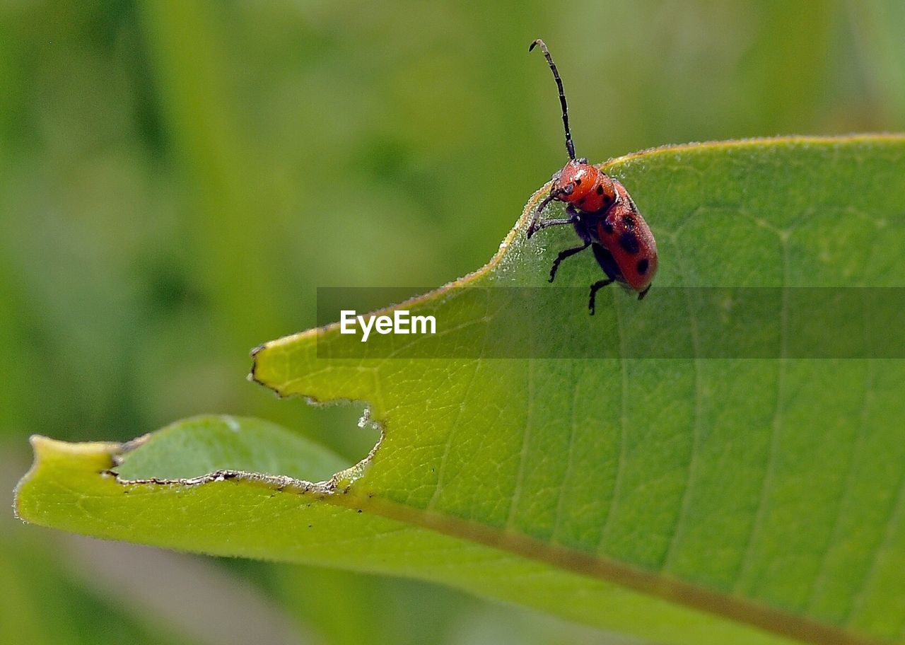 Red insect eating leaf