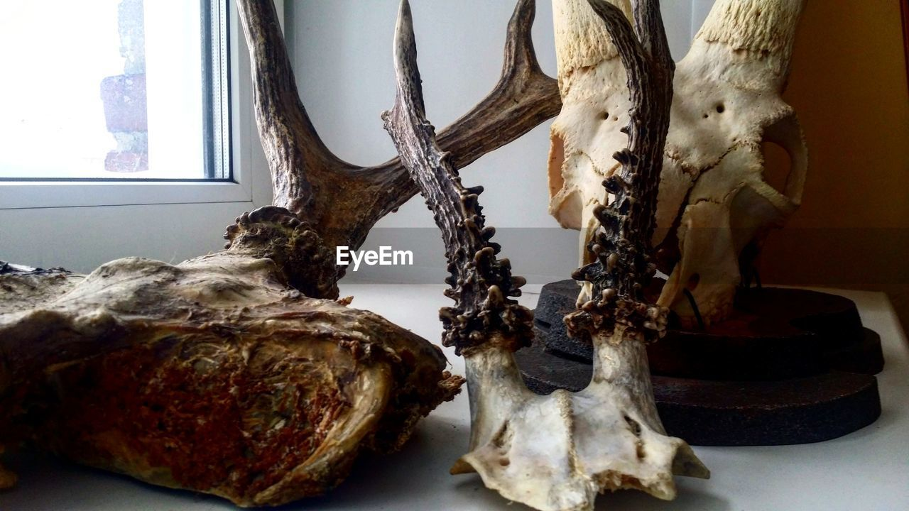 indoors, animal skull, animal bone, no people, table, close-up, skeleton, day, nature, animal themes