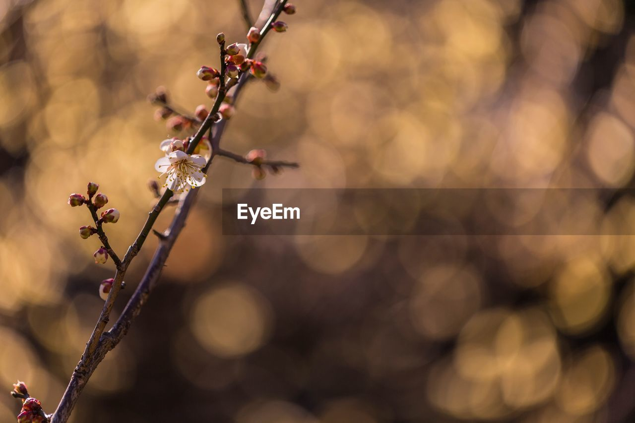 nature, twig, flower, outdoors, no people, beauty in nature, focus on foreground, close-up, day, growth, fragility, branch, plant, tree, freshness, flower head
