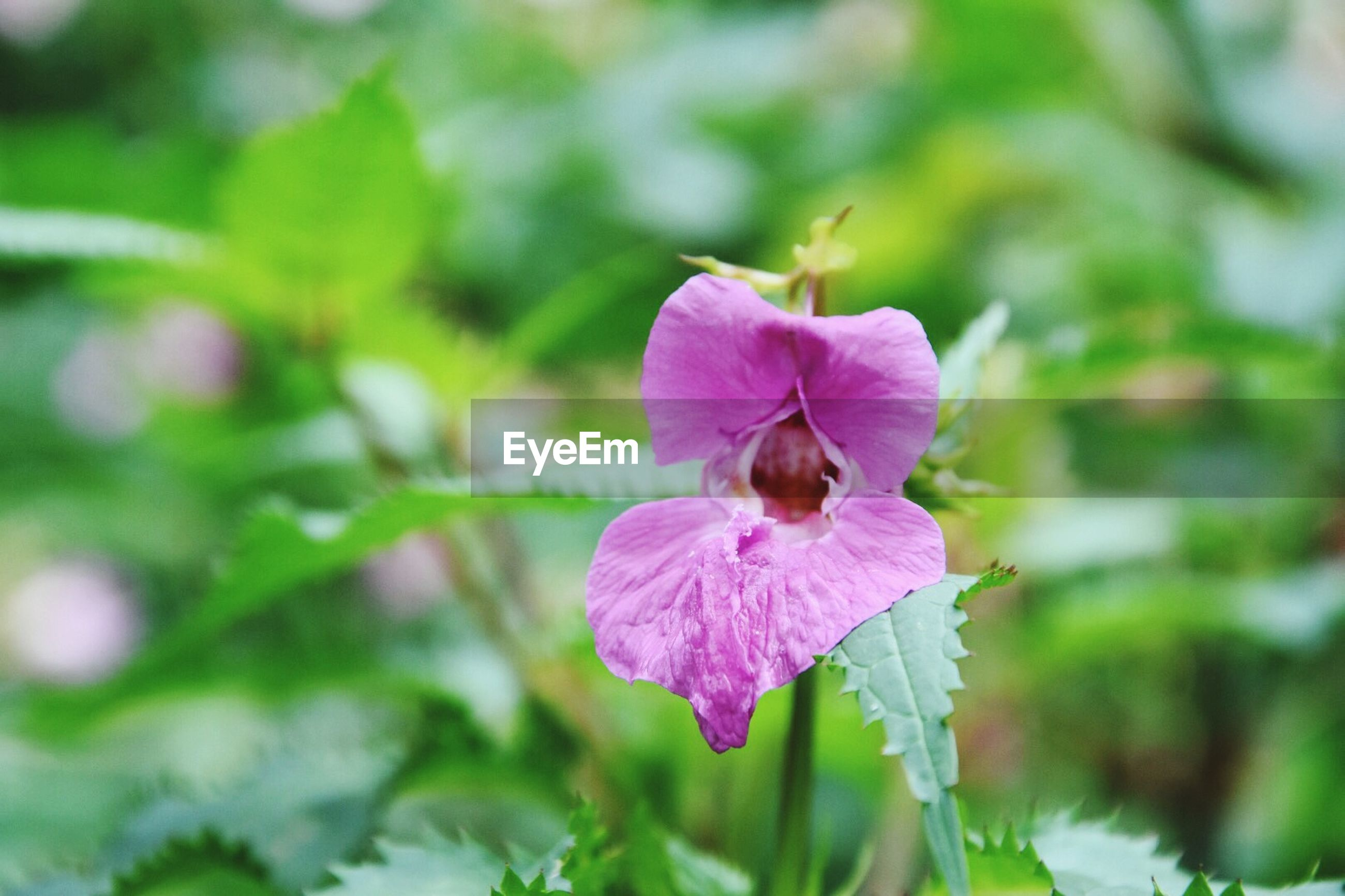 flower, petal, freshness, fragility, flower head, growth, close-up, beauty in nature, purple, focus on foreground, blooming, nature, pink color, plant, single flower, in bloom, stamen, pollen, outdoors, day