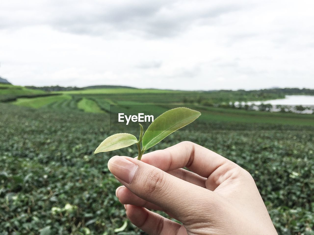 Cropped hand of woman holding tea leaf against agricultural field
