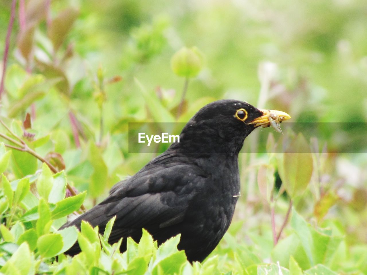 animal, animal themes, one animal, animals in the wild, animal wildlife, bird, vertebrate, black color, blackbird, plant, day, no people, nature, focus on foreground, close-up, outdoors, perching, land, plant part, side view