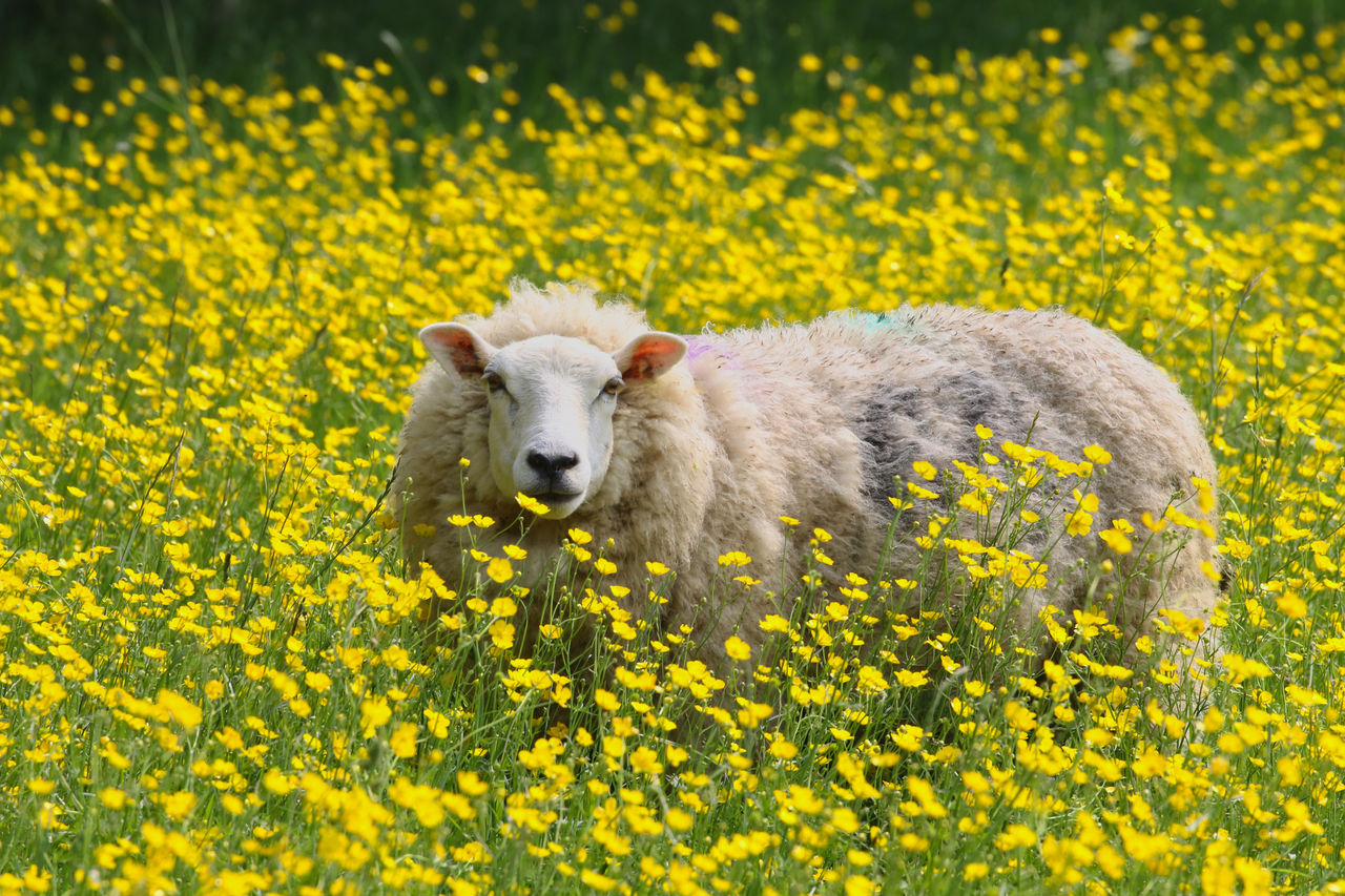 yellow, flower, flowering plant, one animal, animal themes, animal, plant, mammal, nature, freshness, land, field, animal wildlife, beauty in nature, no people, animals in the wild, domestic animals, day, domestic, vertebrate, springtime, outdoors, flowerbed