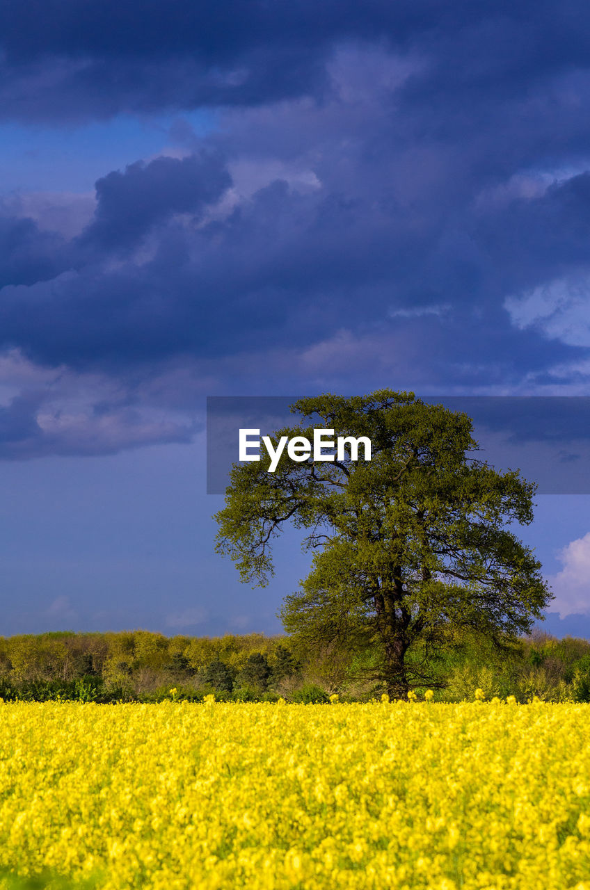plant, yellow, field, beauty in nature, landscape, land, sky, environment, growth, flower, tree, oilseed rape, cloud - sky, scenics - nature, nature, tranquil scene, tranquility, flowering plant, agriculture, rural scene, no people, outdoors, springtime
