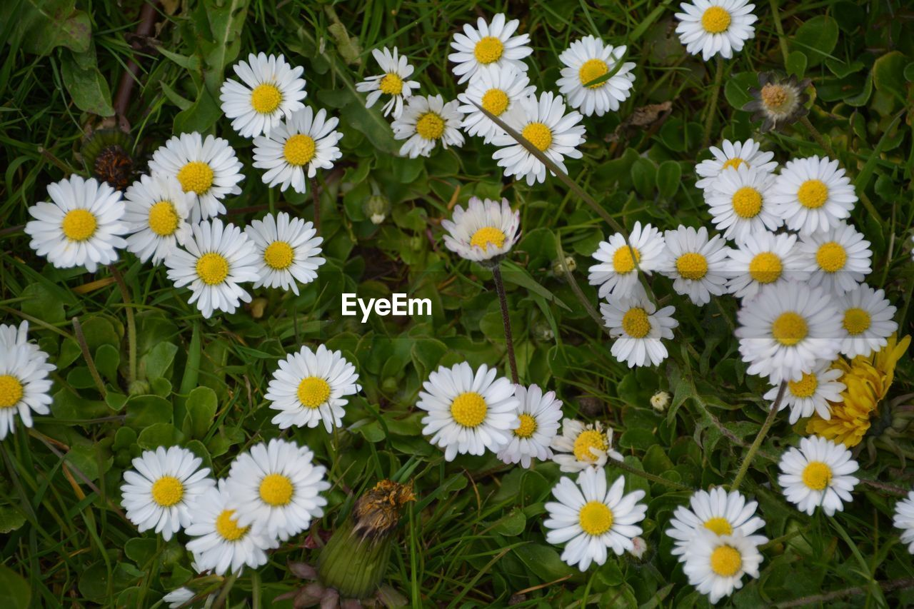 Daisies Blooming Outdoors