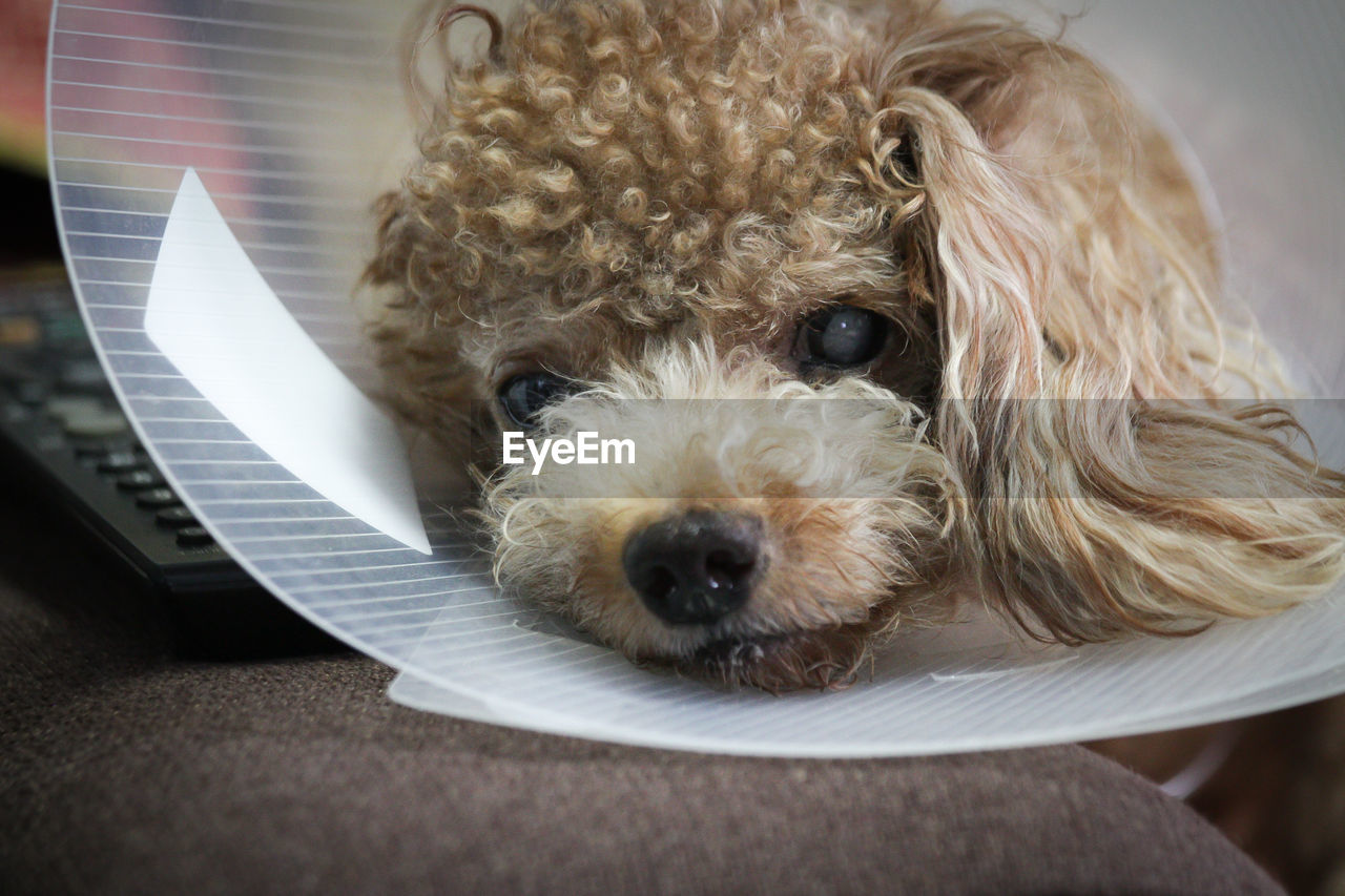 Close-Up Portrait Of Dog Wearing Protective Collar