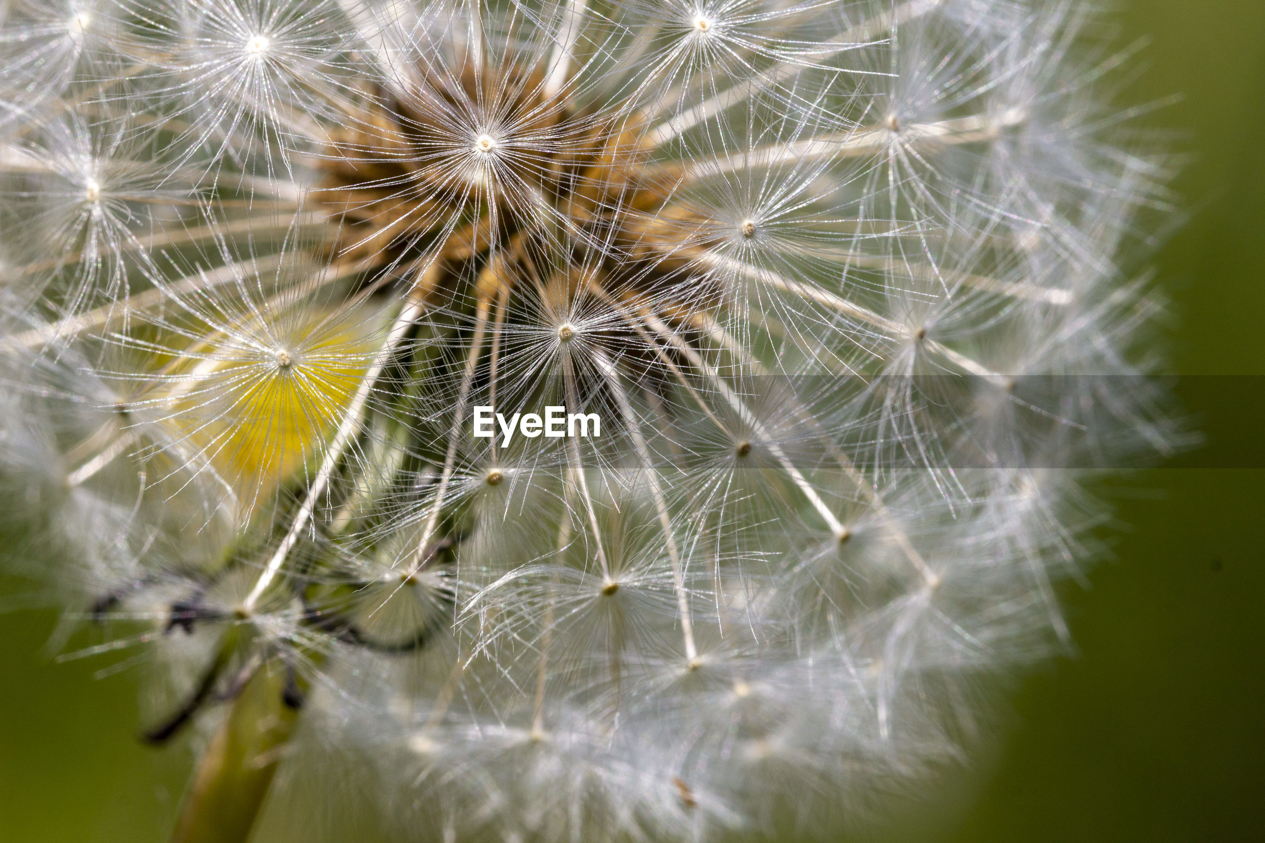 CLOSE-UP OF DANDELION AGAINST WHITE BACKGROUND