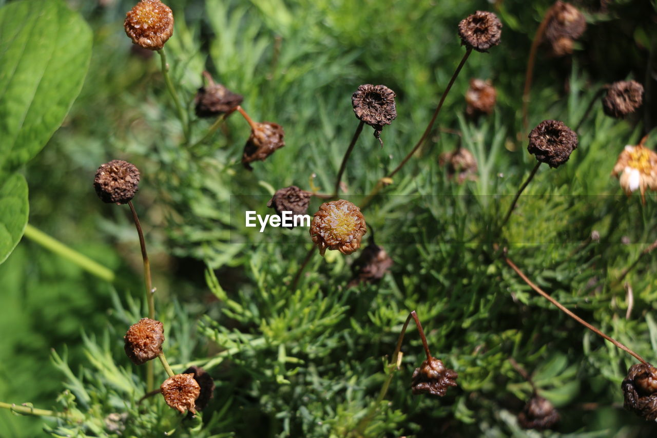 plant, close-up, growth, focus on foreground, beauty in nature, day, no people, green color, nature, freshness, plant stem, flower, selective focus, leaf, plant part, food and drink, outdoors, brown, tranquility, fragility, flower head