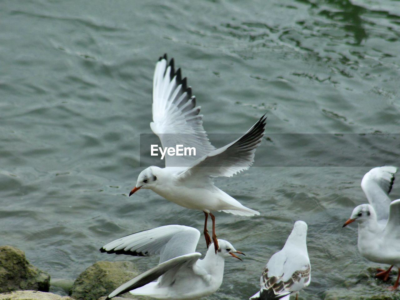 animals in the wild, animal wildlife, bird, vertebrate, group of animals, animal themes, animal, water, spread wings, flying, seagull, no people, sea, nature, white color, day, black-headed gull, motion, large group of animals, flock of birds, flapping