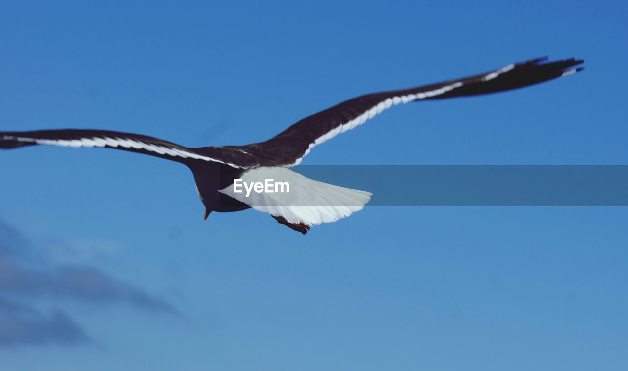 flying, animals in the wild, spread wings, animal themes, animal wildlife, vertebrate, one animal, sky, animal, bird, low angle view, no people, nature, motion, mid-air, blue, clear sky, day, beauty in nature, animal wing, outdoors, seagull, eagle
