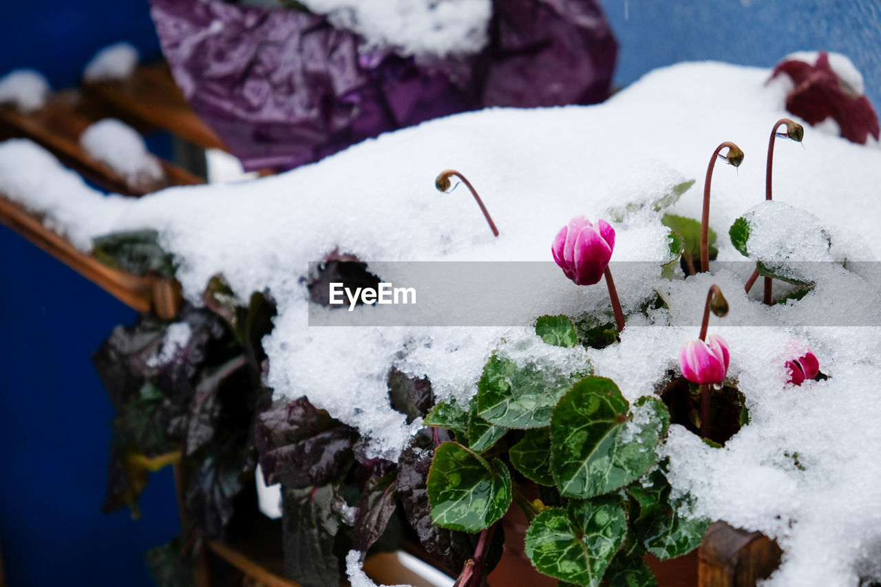 CLOSE-UP OF SNOW ON WHITE FLOWER PLANT