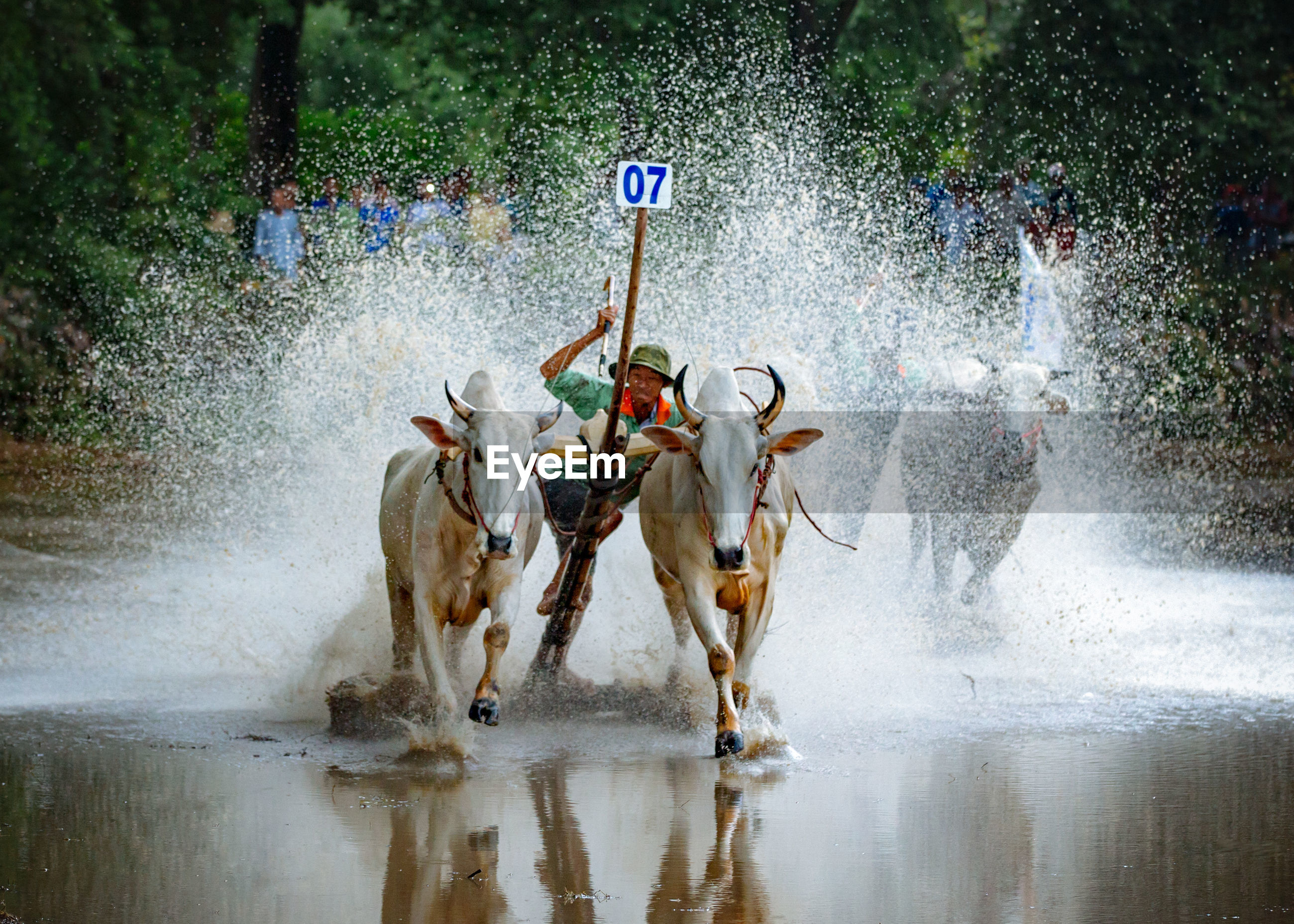 Full length of man with bulls running in pond during race