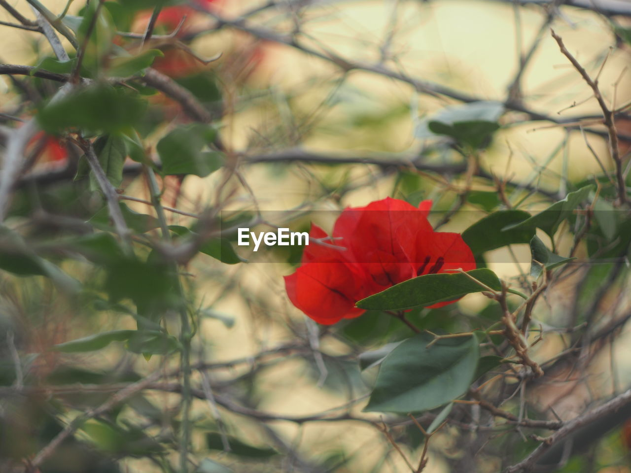 flower, red, beauty in nature, nature, petal, fragility, growth, plant, flower head, freshness, rose - flower, blooming, no people, focus on foreground, outdoors, day, close-up, poppy