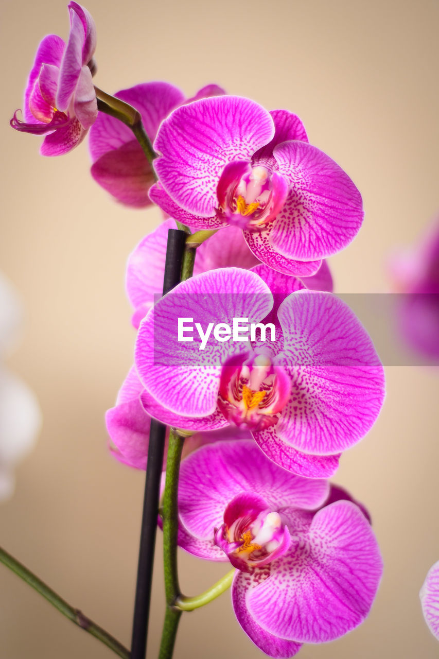 flowering plant, flower, beauty in nature, petal, plant, vulnerability, fragility, close-up, freshness, flower head, inflorescence, pink color, growth, purple, no people, nature, orchid, focus on foreground, day, outdoors, pollen