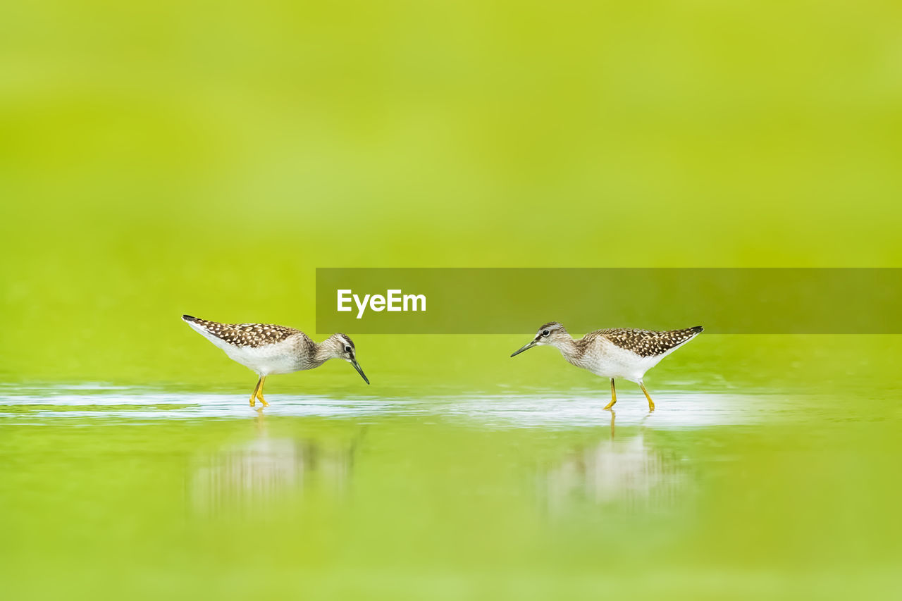 animal themes, bird, animal, animals in the wild, vertebrate, animal wildlife, group of animals, two animals, water, selective focus, no people, reflection, day, nature, side view, outdoors, green color, beauty in nature, full length