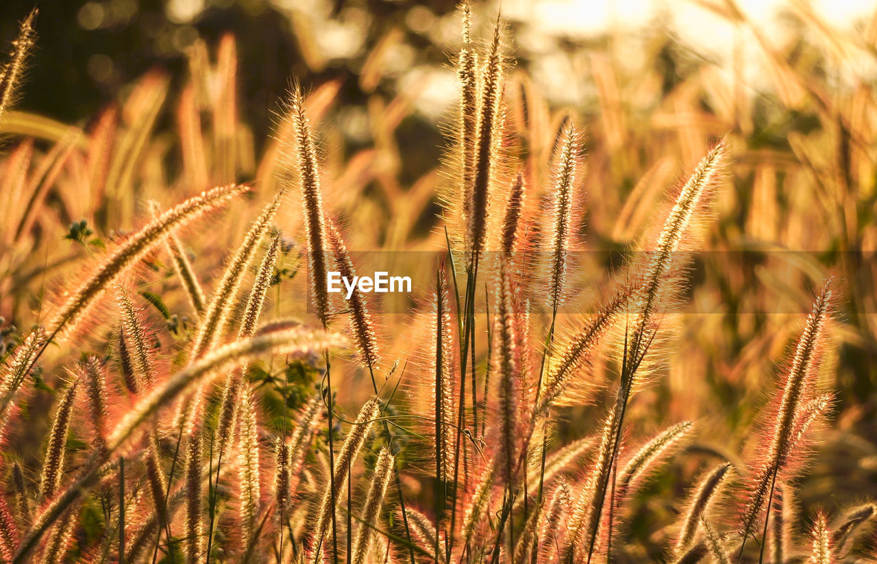 growth, plant, close-up, field, nature, beauty in nature, no people, land, day, tranquility, selective focus, cereal plant, agriculture, crop, focus on foreground, farm, outdoors, sunlight, rural scene, grass, stalk, timothy grass