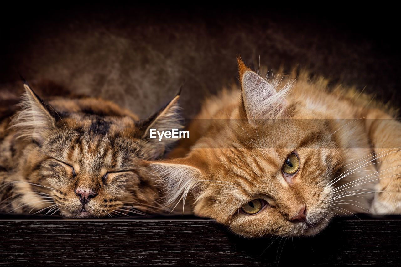 cat, feline, mammal, pets, animal themes, domestic, domestic animals, domestic cat, animal, vertebrate, relaxation, whisker, portrait, looking at camera, one animal, no people, close-up, lying down, resting, animal head, ginger cat, tabby, maine coon cat