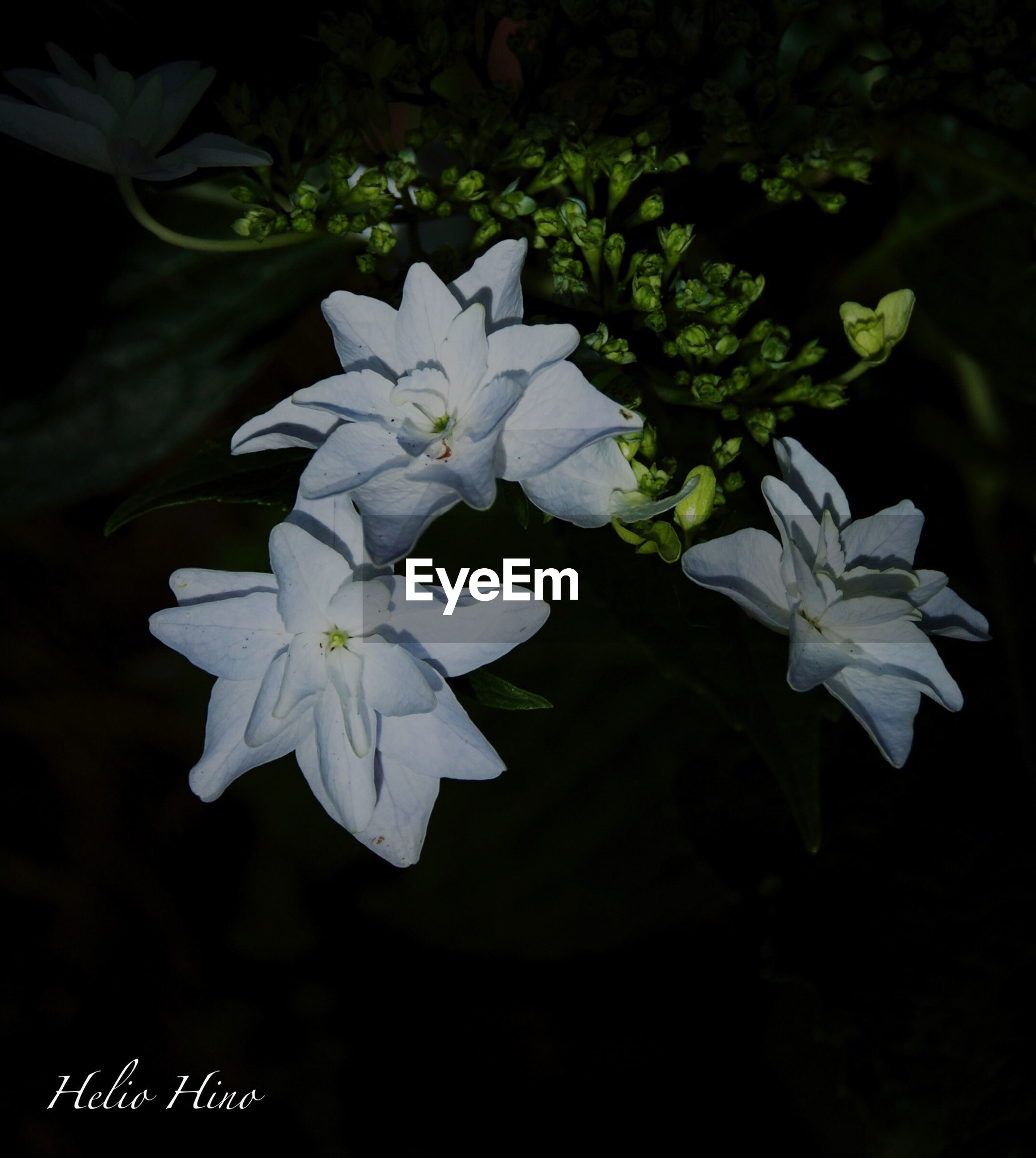 flower, white color, petal, freshness, fragility, growth, flower head, beauty in nature, close-up, nature, blooming, white, plant, black background, leaf, in bloom, focus on foreground, night, blossom, pollen