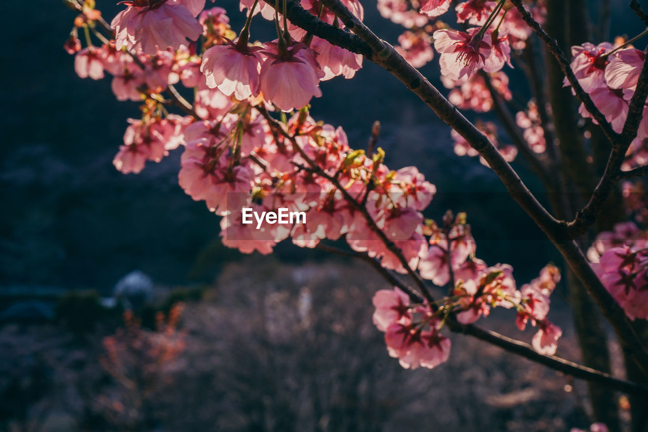 flowering plant, flower, plant, fragility, growth, beauty in nature, vulnerability, freshness, tree, pink color, blossom, branch, focus on foreground, nature, petal, springtime, close-up, no people, day, selective focus, flower head, outdoors, cherry blossom, cherry tree, pollen, spring