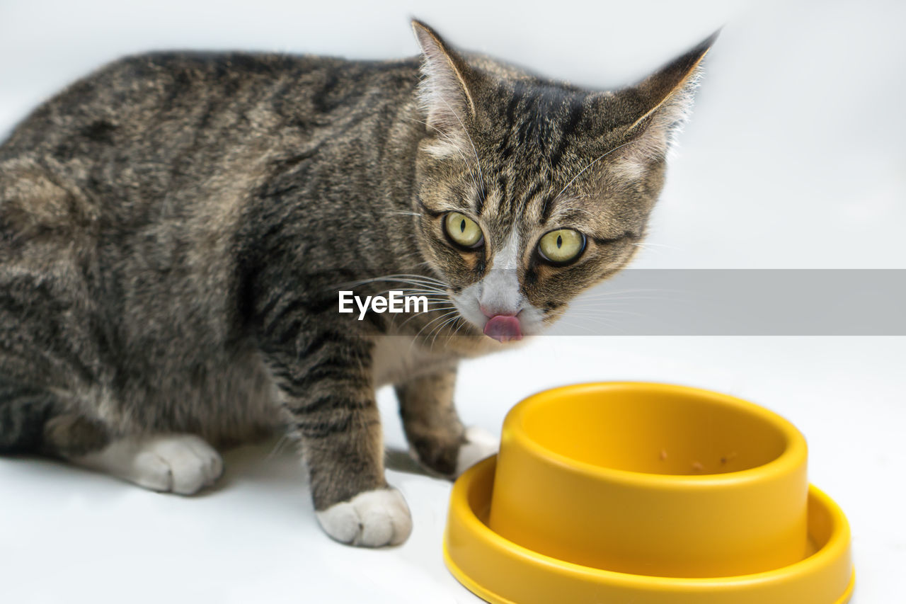 domestic animals, feline, domestic, cat, domestic cat, pets, animal themes, mammal, animal, one animal, vertebrate, no people, indoors, close-up, focus on foreground, whisker, portrait, food, looking at camera, food and drink, tabby, animal eye