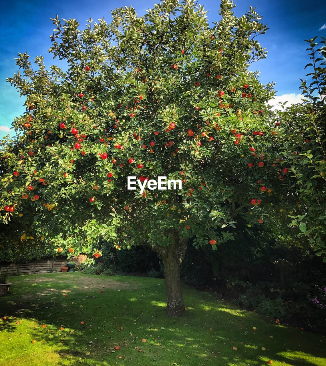 fruit, tree, growth, food and drink, orchard, food, outdoors, nature, agriculture, orange tree, red, no people, freshness, green color, day, branch, healthy eating, beauty in nature, sky