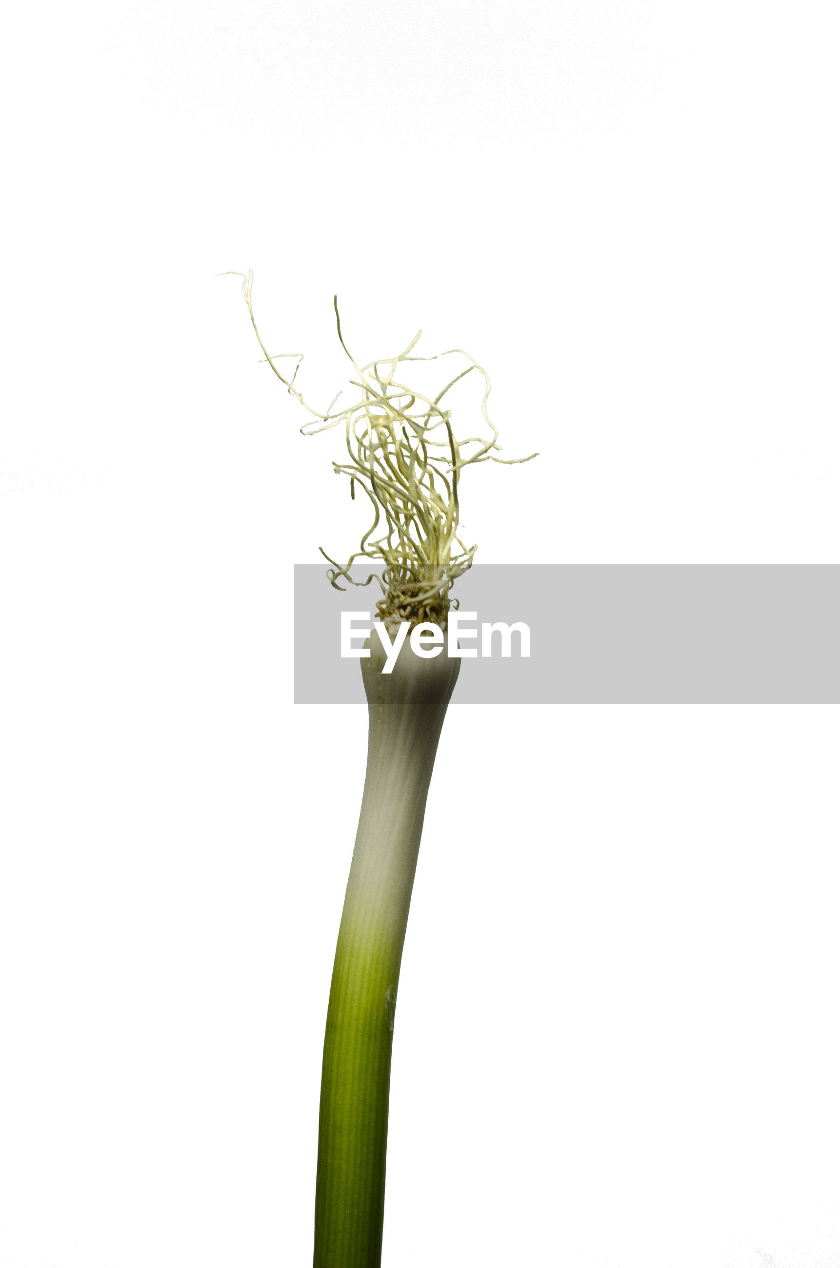 Close-up of leek against white background