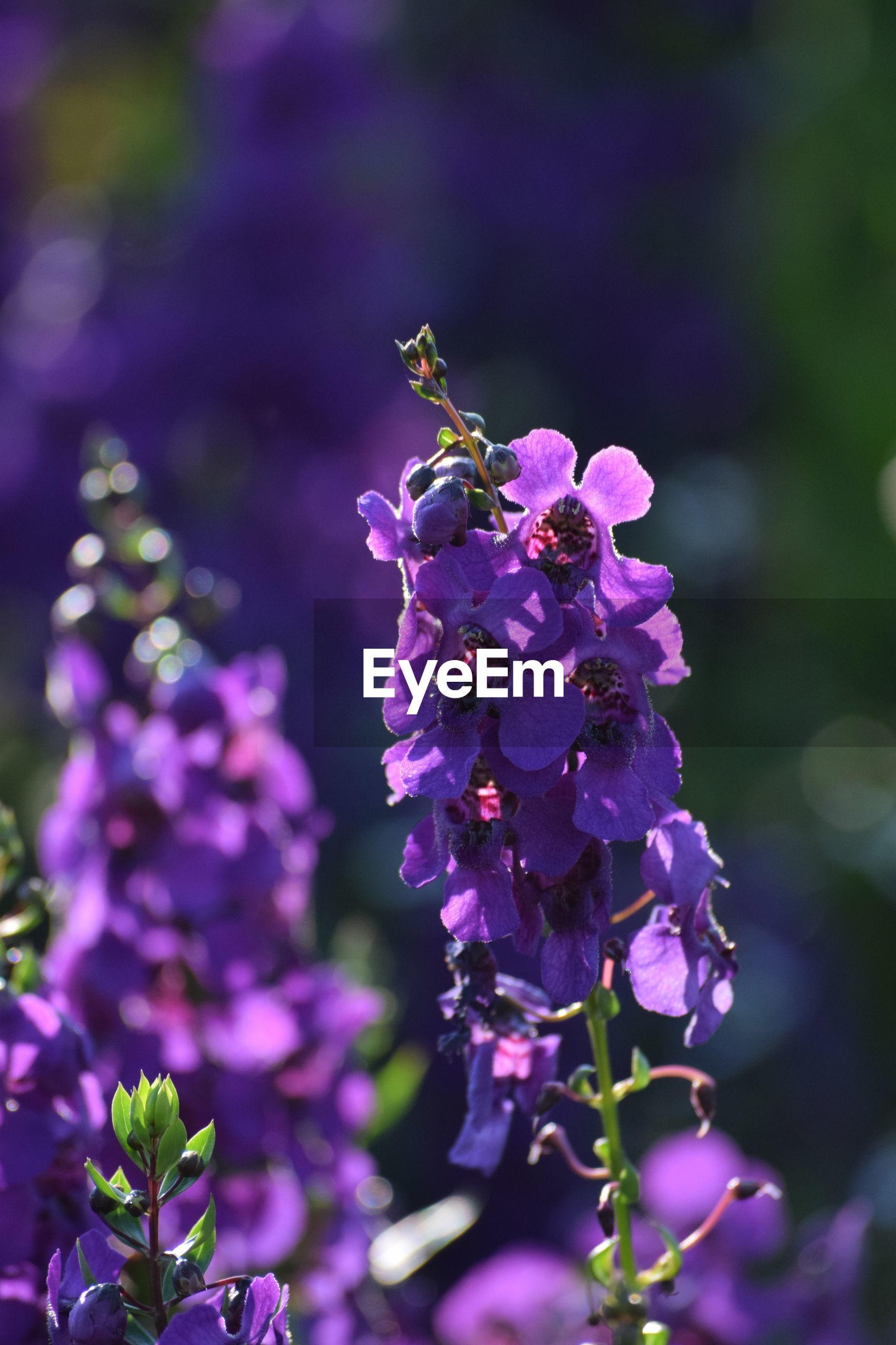 CLOSE-UP OF PURPLE LAVENDER FLOWERS