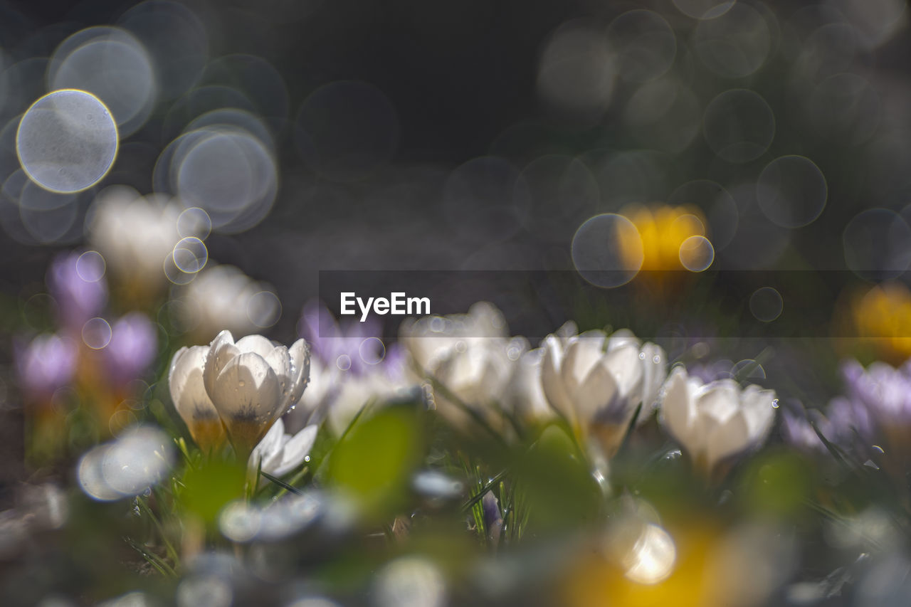 selective focus, flower, flowering plant, plant, beauty in nature, vulnerability, fragility, freshness, growth, close-up, petal, no people, nature, white color, day, flower head, inflorescence, outdoors, lens flare, defocused, purple, purity, dew, raindrop