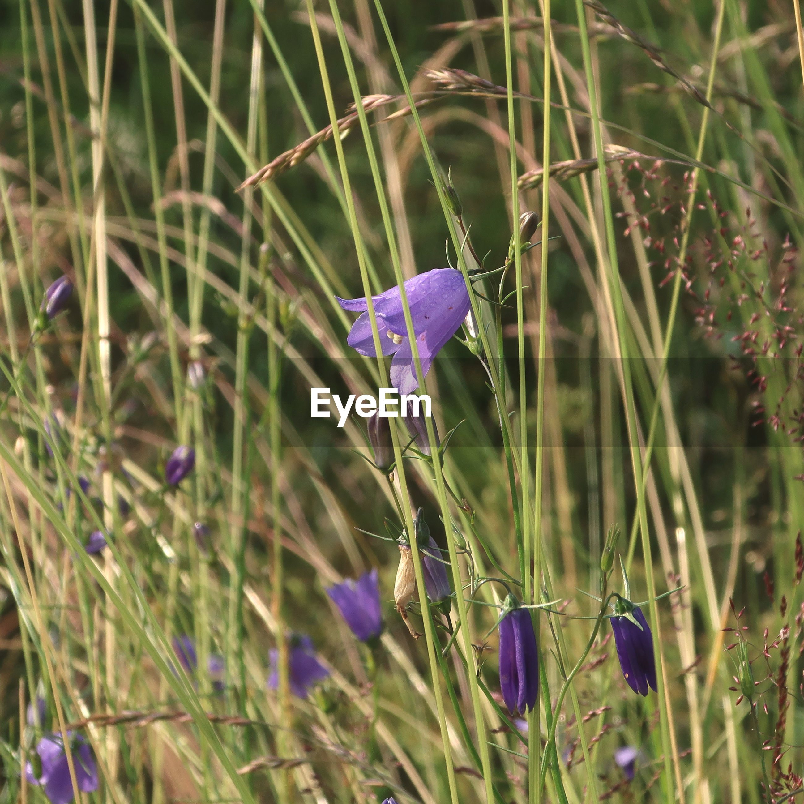 plant, flower, flowering plant, purple, beauty in nature, grass, prairie, growth, nature, meadow, freshness, fragility, close-up, no people, field, land, petal, wildflower, day, focus on foreground, flower head, outdoors, harebell, inflorescence, springtime, green, selective focus, lavender, iris