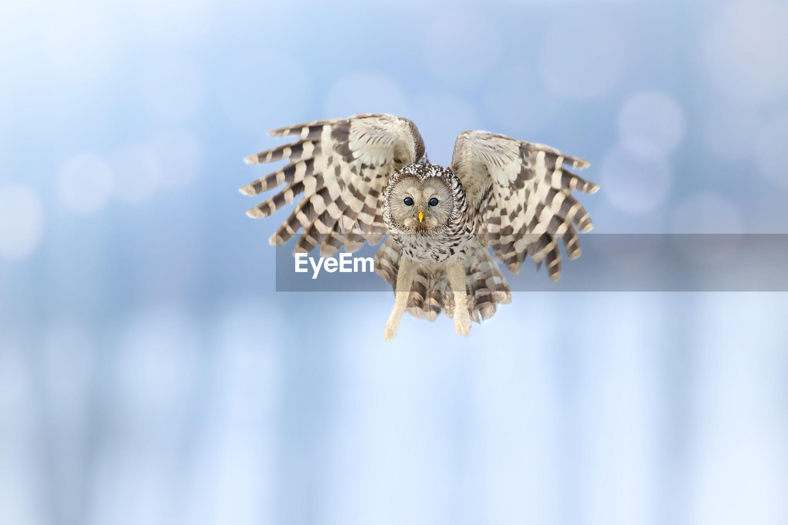 Ural owl flying in mid-air