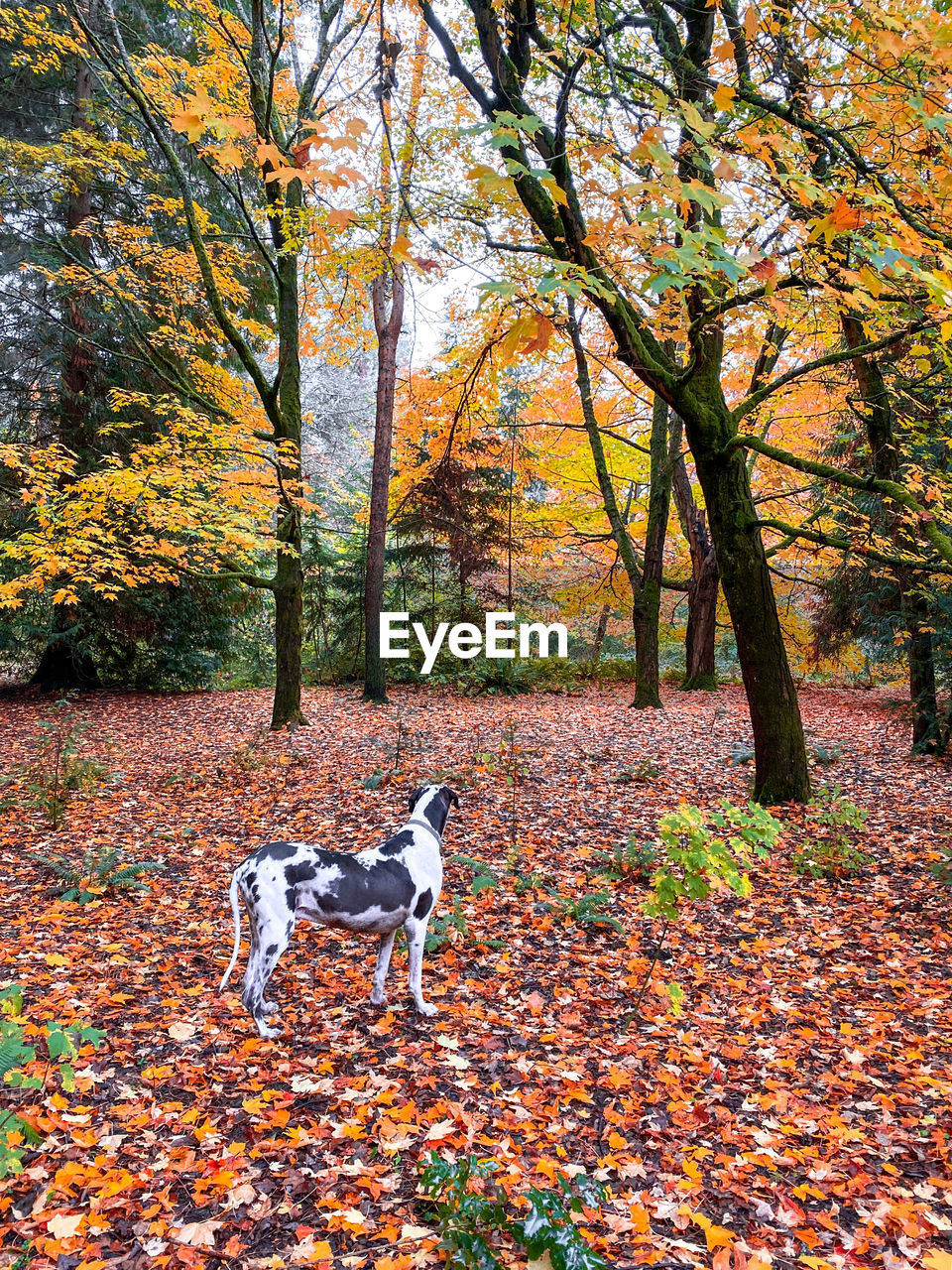 autumn, one animal, domestic animals, tree, domestic, mammal, pets, canine, dog, animal, change, animal themes, vertebrate, plant, leaf, plant part, day, nature, land, beauty in nature, no people, outdoors, leaves, purebred dog, autumn collection