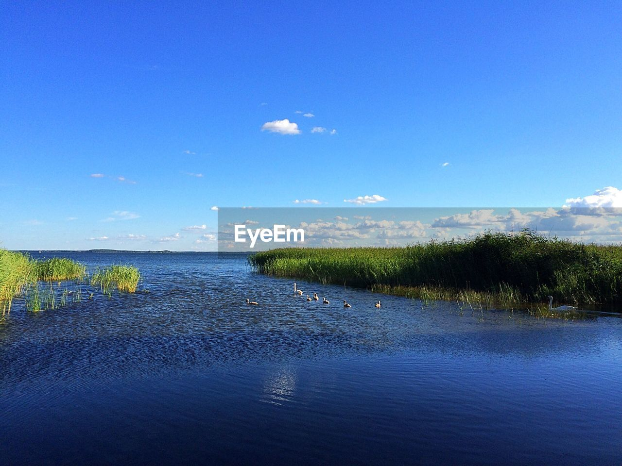 Swan family swimming in lake against blue sky