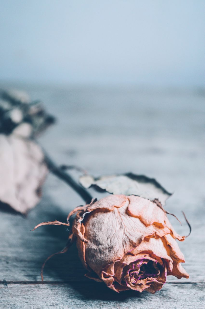close-up, no people, nature, sea, freshness, still life, focus on foreground, beauty in nature, dry, food and drink, outdoors, day, selective focus, food, rose, water, healthy eating, plant part, rose - flower, shell, wilted plant