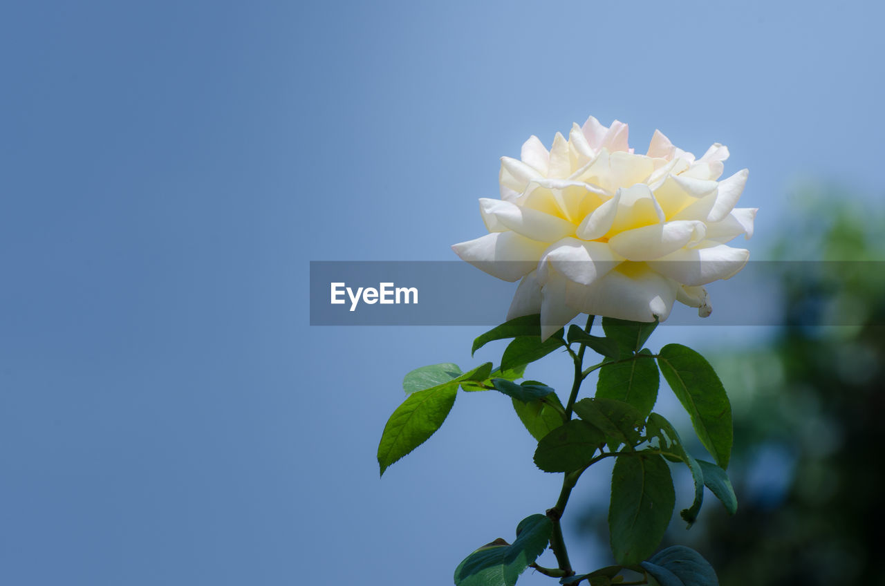 flower, petal, fragility, nature, beauty in nature, freshness, flower head, leaf, growth, white color, copy space, blooming, day, plant, focus on foreground, close-up, outdoors, no people, blue, clear sky, frangipani