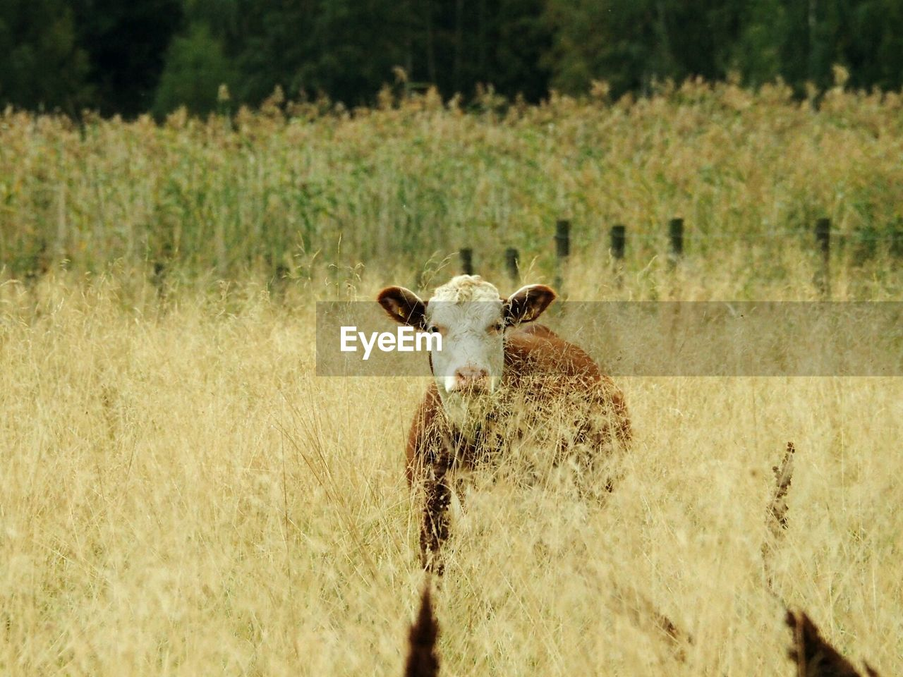 mammal, domestic animals, animal, field, animal themes, land, plant, domestic, pets, grass, looking at camera, livestock, vertebrate, one animal, nature, portrait, no people, day, cattle, landscape, herbivorous, outdoors